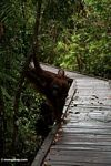 Rehabilitated mother and baby orangutans on boardwalk at Camp Leaky (Kalimantan, Borneo - Indonesian Borneo) -- kali9229
