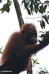 Young orang feeding on buds (Kalimantan, Borneo - Indonesian Borneo)