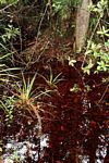 Blackwater swamp in Borneo (Kalimantan, Borneo - Indonesian Borneo) -- kali9268