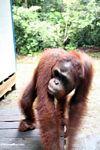 Walking orangutan in motion (Kalimantan, Borneo - Indonesian Borneo)