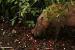 Bornean bearded pig feeding on fallen rambutan fruit (Kalimantan, Borneo - Indonesian Borneo)
