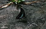 Blue and black butterfly on forest floor with wings closed (Kalimantan, Borneo - Indonesian Borneo)