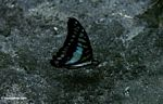Blue and black butterfly in Borneo; wings closed (Kalimantan, Borneo - Indonesian Borneo)