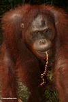 Orangutan with ribbon in its mouth (Kalimantan, Borneo - Indonesian Borneo)