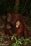 Mother orangutan with baby on forest floor (Kalimantan, Borneo - Indonesian Borneo)