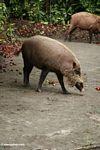 Borneo bearded pigs (Sus barbatus) near camp (Kalimantan, Borneo - Indonesian Borneo)
