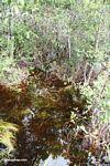 Blackwater swamp  vegetation (Kalimantan, Borneo - Indonesian Borneo)