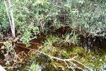 Blackwater swamp grass and surrounding vegetation (Kalimantan, Borneo - Indonesian Borneo)
