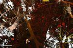 Blackwater swamp leaf litter (Kalimantan, Borneo - Indonesian Borneo)