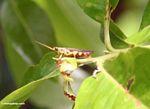 Yellow and brown grasshopper (Kalimantan, Borneo - Indonesian Borneo)