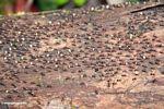 Mass of termites (Kalimantan, Borneo - Indonesian Borneo)