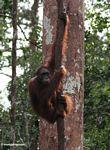 Orangutan hanging on a forest liana in Indonesia's Tanjung Puting National Park (Kalimantan, Borneo - Indonesian Borneo)