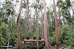 Group of orangs on feeding platform in Tanjung Puting National Park (Kalimantan, Borneo - Indonesian Borneo)