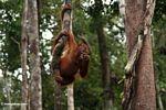 Young orang-utan grasping a woody liana while eating a Rambutan (Kalimantan, Borneo - Indonesian Borneo)