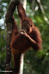 Young orangutan feeding while hanging from tree (Kalimantan, Borneo - Indonesian Borneo)