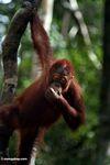 Young orangutan hanging from tree (Kalimantan, Borneo - Indonesian Borneo)