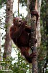 Young orangutan eating a banana while grabbing a woddy liana (Kalimantan, Borneo - Indonesian Borneo)