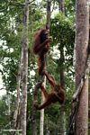 Pair of orangutans climbing a large liana in Borneo (Kalimantan, Borneo - Indonesian Borneo)