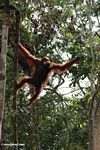 Orangutan climbing while holding a bunch of bananas in its mouth (Kalimantan, Borneo - Indonesian Borneo)