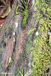 Colony of termites in moving along a log in the rainforest (Kalimantan, Borneo - Indonesian Borneo)