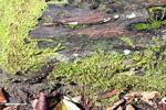 Train of termites in motion on rainforest log (Kalimantan, Borneo - Indonesian Borneo)