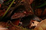 Brown leaf frog hidden among litter on forest floor (Kalimantan, Borneo - Indonesian Borneo)