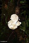 White fungi with emerging black hairs (Kalimantan, Borneo - Indonesian Borneo)