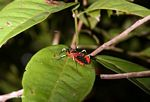 Red weevil-like insect with yellow and black legs (Kalimantan, Borneo - Indonesian Borneo) -- kali9500
