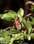 Red weevil-like insect with yellow and black legs (Kalimantan, Borneo - Indonesian Borneo)