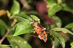 Red beetle-like insect with yellow and black legs (Kalimantan, Borneo - Indonesian Borneo)