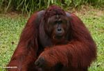 Adult Male Orang-utan eating a Rambutan fruit (Kalimantan, Borneo - Indonesian Borneo)