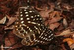 Yellow-, green-, and orange-spotted butterfly in Borneo jungle (Kalimantan, Borneo - Indonesian Borneo)