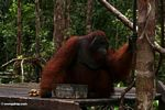 Large red male adult Borneo Orangutan on feeding platform at Pondok Tanggui (Kalimantan, Borneo - Indonesian Borneo)