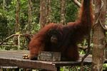 Ex-captive adult male Borneo Orangutan drinking at Pondok Tanggui (Kalimantan, Borneo - Indonesian Borneo)