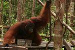 Ex-captive adult male Borneo Orang-utan (Pongo pygmaeus) drinking at Pondok Tanggui (Kalimantan, Borneo - Indonesian Borneo)