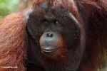 Rehabilitated adult male Orangutan at Pondok Tanggui (Kalimantan, Borneo - Indonesian Borneo) -- kali9674