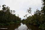 Swamp forest along the Seikonyer River (Kalimantan, Borneo - Indonesian Borneo)