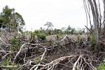 Patch of jungle that has been slash-and-burned in Borneo (Kalimantan, Borneo - Indonesian Borneo)