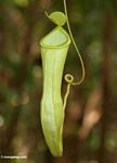 Nepenthes reinwardtiana pitcher plant in Borneo rainforest (Kalimantan, Borneo - Indonesian Borneo)