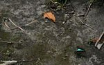 Butterfly with bright blue markings in flight (Kalimantan, Borneo - Indonesian Borneo)