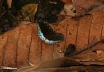 Black butterfly with blue posterior wing sections, resting on a fallen leaf on the forest floor (Kalimantan, Borneo - Indonesian Borneo)