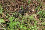 Small water monitor (Varanus salvator) (Kalimantan, Borneo - Indonesian Borneo)