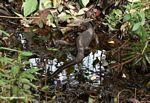 Water monitor (Varanus salvator) making its way through the Borneo swamp forest (Kalimantan, Borneo - Indonesian Borneo)