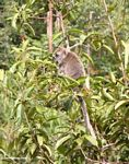 Long-tailed macaque (Macaca fascicularis) in a fruit tree (Kalimantan, Borneo - Indonesian Borneo)