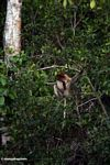 Proboscis monkey in leafy tree (Kalimantan, Borneo - Indonesian Borneo)