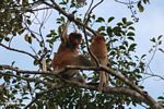 Adult male proboscis monkey with young monkey (Kalimantan, Borneo - Indonesian Borneo)