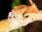 Tree frog in the Borneo jungle (Kalimantan, Borneo - Indonesian Borneo)
