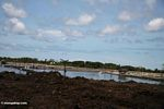 Shrimp aquaculture has replaced mangrove forests in Sulawesi (Sulawesi - Celebes)