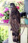 Captured Sulawesi Hawk eagle (Sulawesi - Celebes)