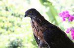 Captive Sulawesi Hawk eagle (Sulawesi - Celebes) -- sulawesi6560
